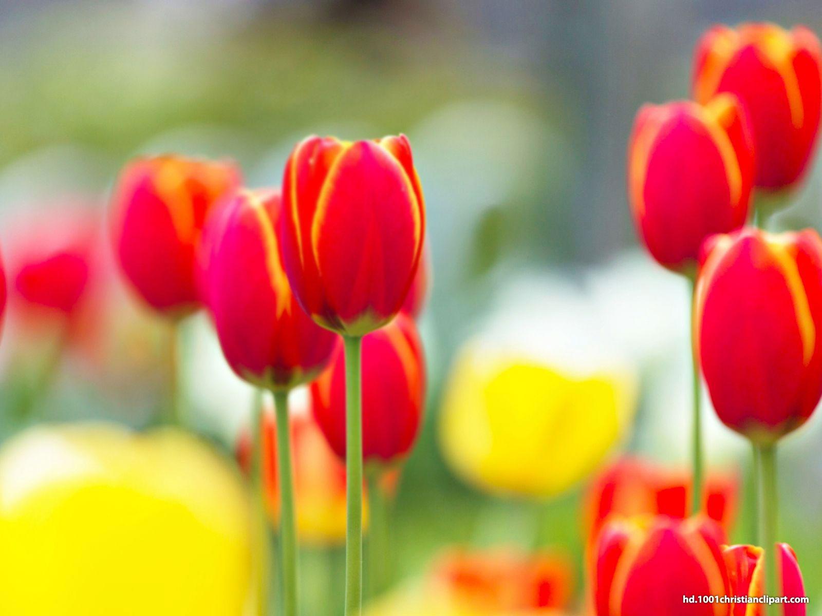Red Tulip Background